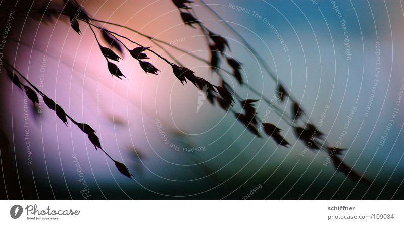 Abends gezittert IV Pflanze dunkel Gras Traurigkeit Trauer zart Verzweiflung Lichtspiel zerbrechlich Farbenspiel Ziergras
