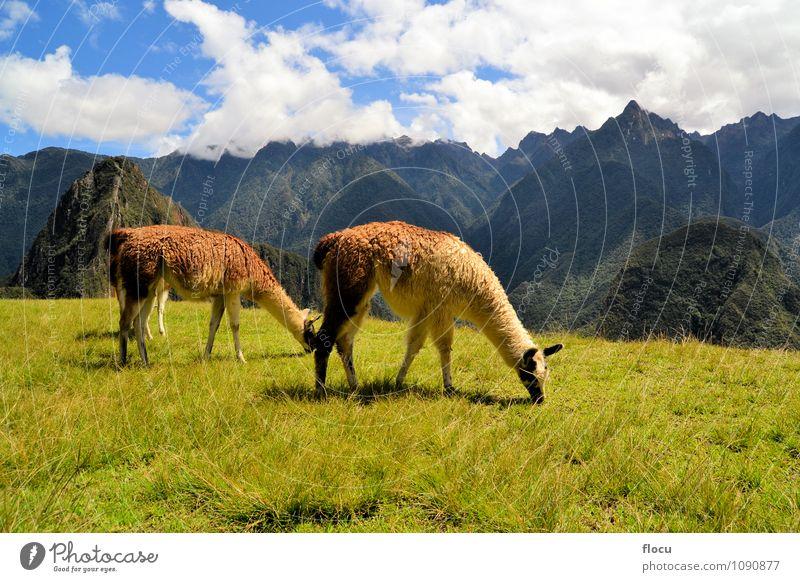 Lamaspaar in den peruanischen Anden bei Machu Picchu Ferien & Urlaub & Reisen Tourismus Berge u. Gebirge Natur Landschaft Erde Himmel Wolken Nebel Gras Stadt