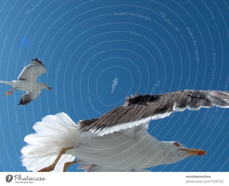 Orville Vogel Möwe Strand Meer Küste Himmel Luftverkehr Flügel