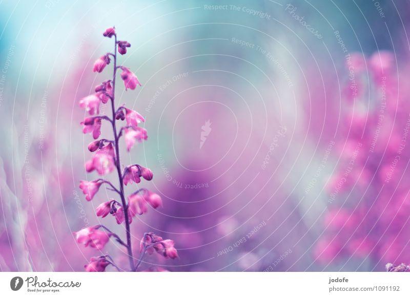 Summertimes Natur Pflanze Frühling Sommer Blume Blüte Garten Park Duft schön Kitsch positiv rosa ästhetisch einzigartig elegant Farbe Frieden Inspiration