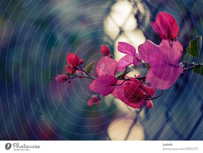 subtropische Wintersonne Natur Pflanze Freude Glück Begeisterung Euphorie Optimismus Reinheit ästhetisch Einsamkeit einzigartig Zaun Bougainvillea Blume Blüte