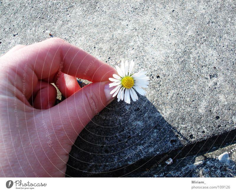 Kamille Sommer Blume schön süß Freundlichkeit Romantik Asphalt Wunder Freude Schönhet Natur nice Wetter Heilpflanzen Unkraut