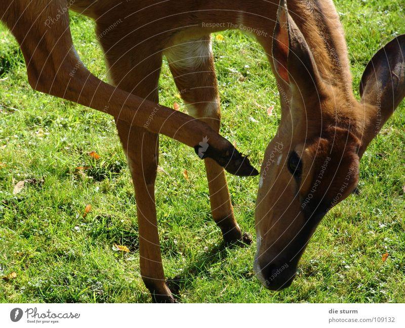 ein Dreibein Tier Zoo Säugetier Schüchternheit kratzen Antilopen Paarhufer Gazellen
