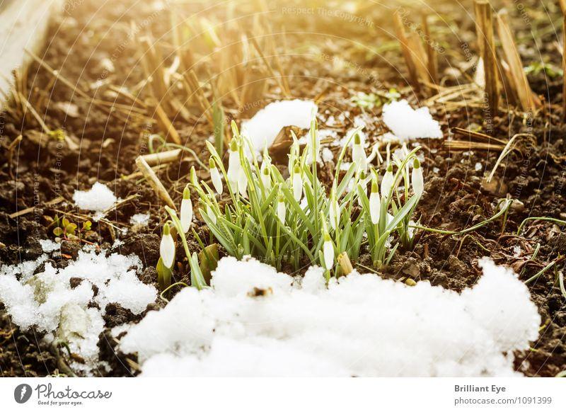 Eingeknickte Schneeglöckchen Winter Natur Pflanze springen Blume Schneefall Frühling bedeckt Sonnenlicht Sonnenstrahlen Frost Garten wintereinbruch