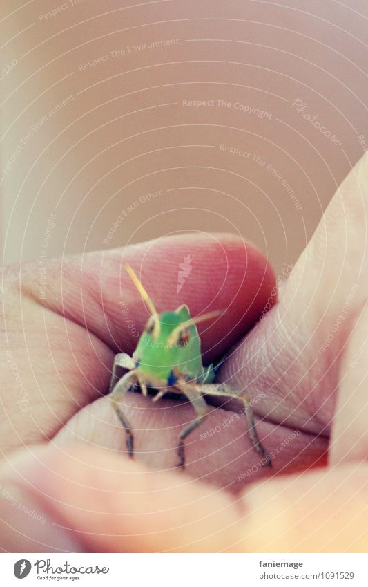 gefangen Umwelt Natur Park Wiese Feld Heuschrecke Steppengrashüpfer grün Hand Finger Insekt Heimchen Handfläche Faust Südfrankreich Camargue Geborgenheit Tier