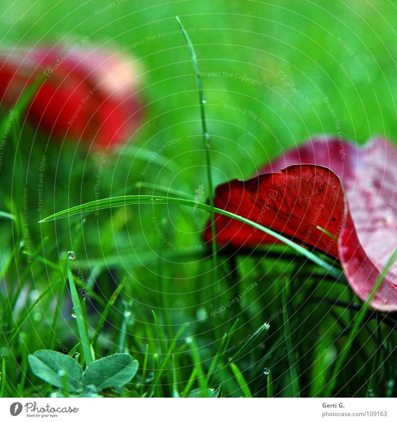 freshness frisch knallig rot grün Herbst Blatt grasgrün Gras Halm Klee Kleeblatt Herbstfärbung Herbstlaub Wiese kalt Erfrischung mehrfarbig zweifarbig