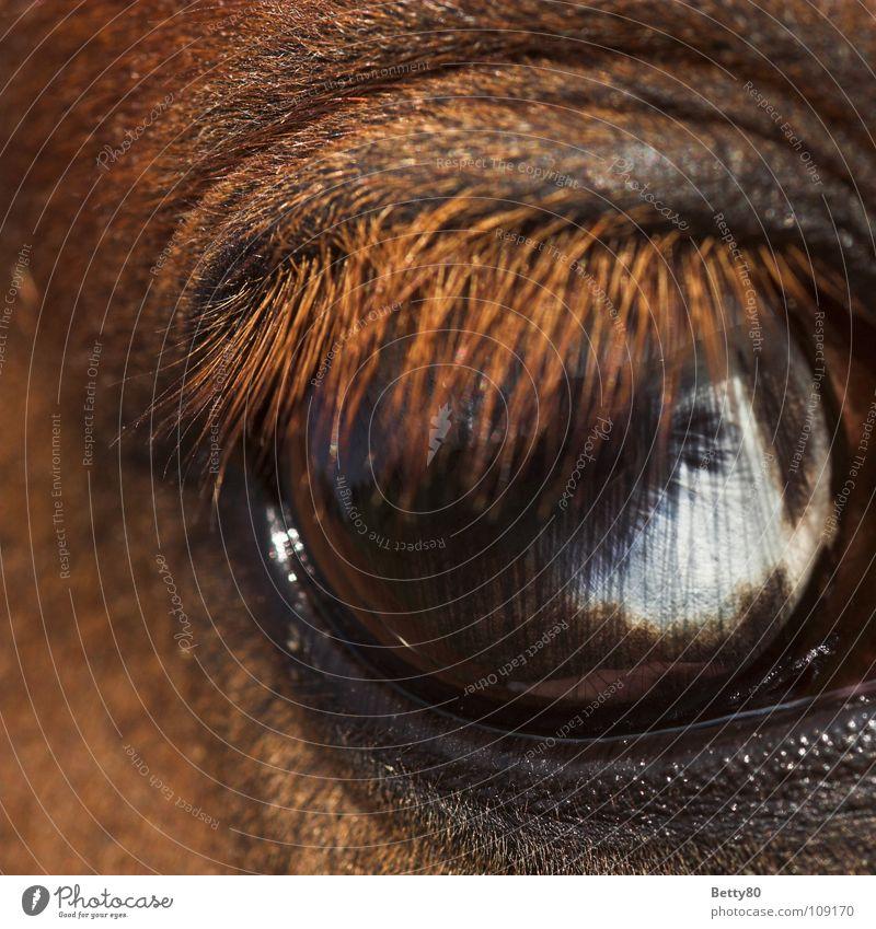 Einen Wimpernschlag entfernt... blau weiß Pferd entdecken Momentaufnahme Säugetier Wimpern Pferdeauge