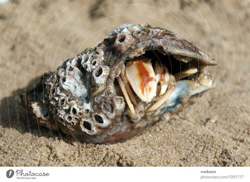 Einsiedlerkrebs, Pagurus, bernhardus, Strand Meer Natur Sand Wasser Nordsee Ostsee Tier Wildtier Muschel authentisch Geborgenheit Zehnfusskrebs Zehnfusskrebse