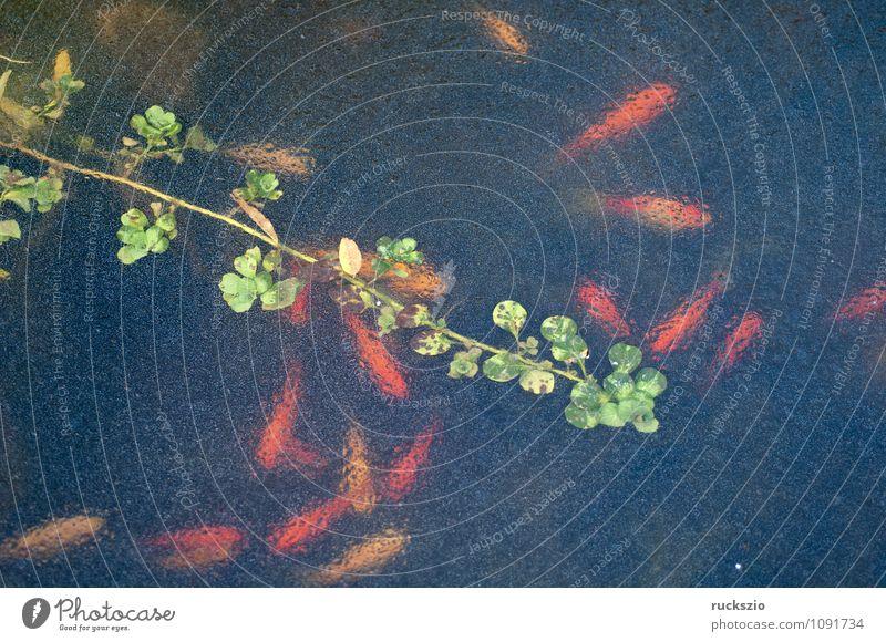 Goldfisch, Eis, Winter, Eisschicht, Tier Wasser Frost Pflanze Grünpflanze Teich kalt blau grün rot gefroren Eisfläche Carassius auratus des Fisch Fische