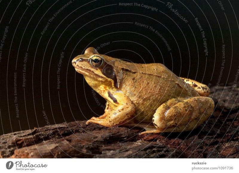 Grasfrosch, Rana temporaria, Natur Tier Wildtier Frosch authentisch frei braun schwarz Amphibie Froschlurche Springfrosch Taufrosch Maerzfrosch Laich Amphibien