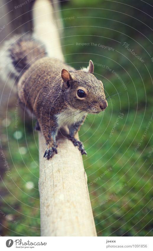 Essen? grün Tier braun Wildtier warten niedlich Neugier Appetit & Hunger Partnerschaft Vorfreude frech sanft geduldig Eichhörnchen Tierliebe zutraulich