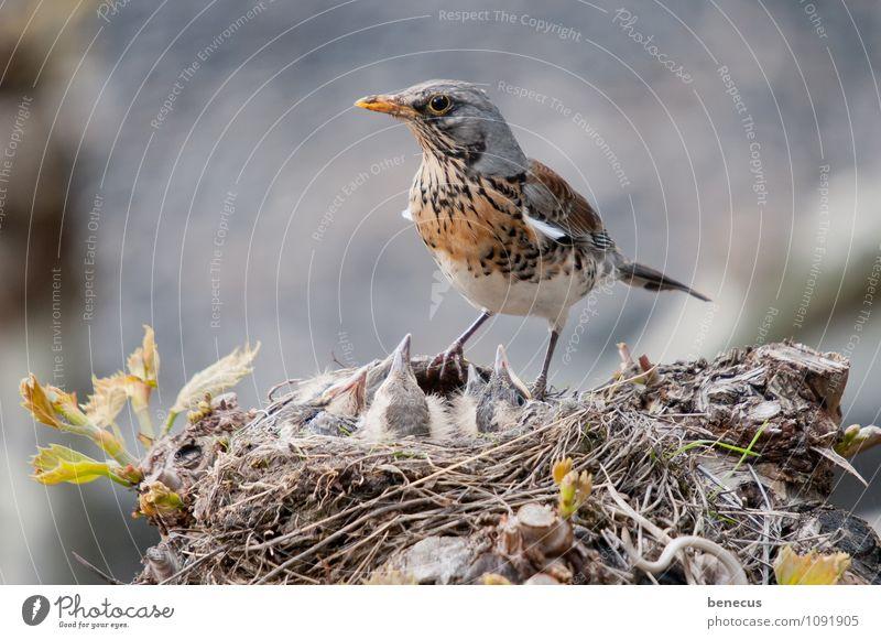stets im (Auf)Blick Natur Frühling Bauwerk Tier Wildtier Vogel Wacholderdrossel Tiergruppe Tierjunges Tierfamilie Nestbau Nestwärme Baumhaus beobachten füttern
