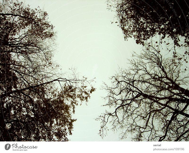 crown Himmel Baum blau Blatt schwarz dunkel kalt Herbst oben grau Ast Baumkrone schlechtes Wetter verzweigt