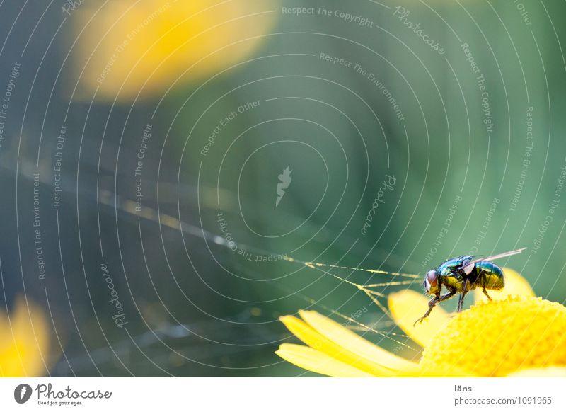 spinnefeind Natur Sommer Blume Blüte Fliege warten Blühend Insekt Spinnennetz