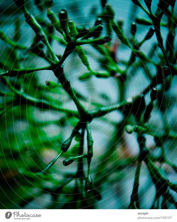 Bleistiftbaum Pflanze netzartig Stengel Trieb Wachstum Netzwerk Topfpflanze Zimmerpflanze Knoten Knotenpunkt synapse internode bleistiftbaum Baum