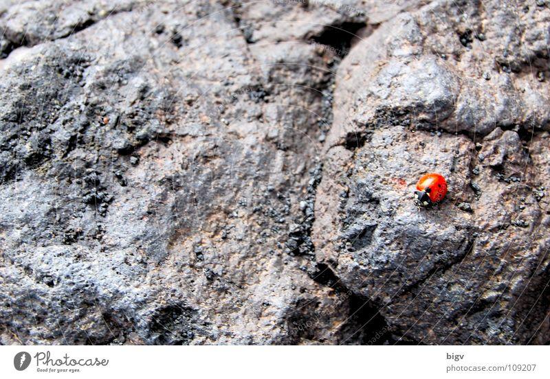 Käfer Vulkan Stein grau rot Lava Ätna Italien Marienkäfer halbkugeliger flugfähiger Käfer Farbfoto