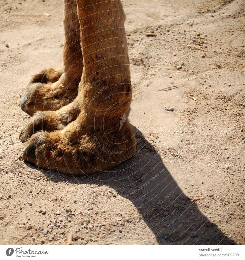 Alf lang dünn Krallen Fell braun beige Physik steinig Sand Kamel Afrika Dromedar außerirdisch Schuhsohle obskur Säugetier Beine Fuß erstaunt Wärme Afrikaner