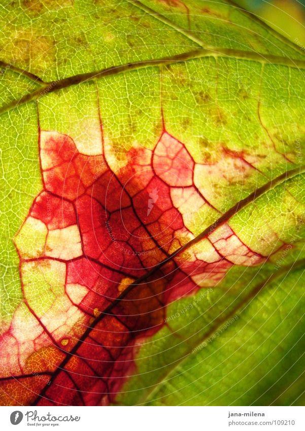 Revolutionäre Zellen (danke 9inchpixel) Natur grün rot Blatt Herbst rosa Wein Vergänglichkeit Ernte Blut Gefäße Herbstlaub Blattadern herbstlich Weinblatt