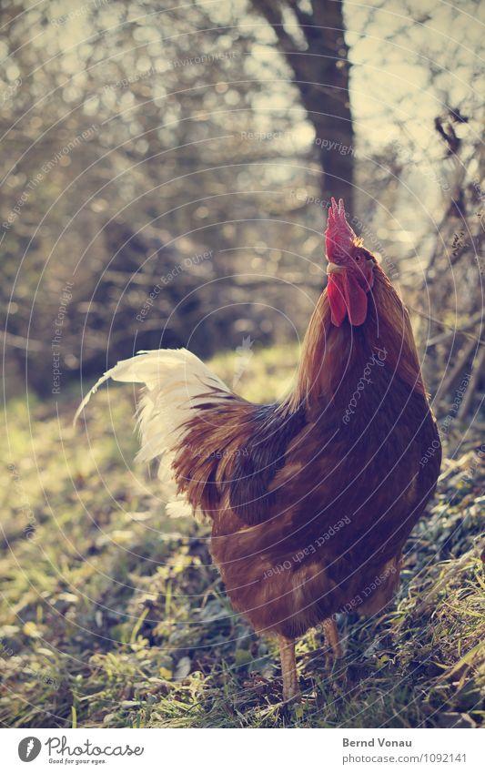 Gegenlichthähnchen Tier Haustier 1 braun gelb grün rot Hahn Hahnenkamm stolzieren Stolz Krallen Schnabel Baumstamm Gras Landwirtschaft ländlich Feder Hund Vogel