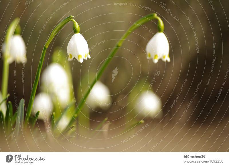 So ist Frühling! Natur Pflanze Blume Blüte Märzenbecher Liliengewächse Blühend Duft Wachstum Frühlingsblume Frühlingsgefühle Garten Freundlichkeit Fröhlichkeit