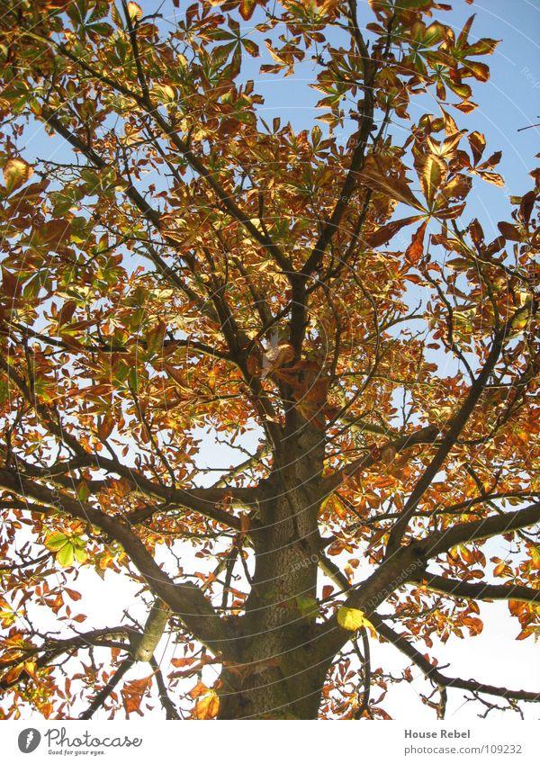 Baum von unten Natur Baum Blatt Herbst Ast Jahreszeiten Wetzlar