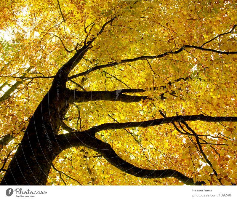 yellow tree Baum Herbst gelb Blatt Wald Buche Baumstamm Ast Natur verästet outumn limb bole beech.