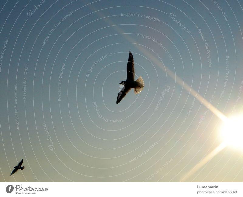 Lichtboten Vogel Möwe Strahlung Sonnenstrahlen Sonnenuntergang gleiten ausbreiten Optimismus Hoffnung schwarz gelb weiß Freude Himmel Abend Luftverkehr fliegen