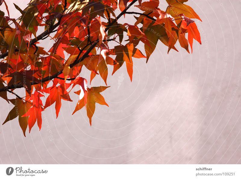 Indian Summer Ahorn Baum Blatt Herbst Herbstlaub Herbstfärbung rot gelb Abendsonne Wand Licht herbstlich Sonne Schatten orange Ast Zweig Lampe leicht luftig