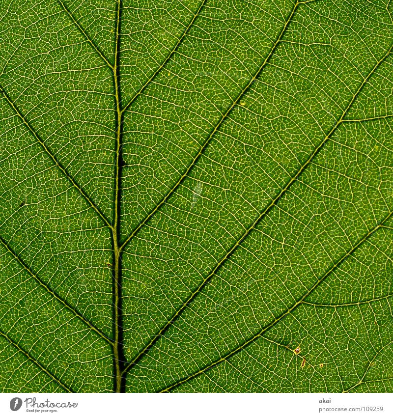 Das Blatt 22 Natur blau grün Pflanze Sommer Blume Umwelt Wärme Blüte Sträucher Schönes Wetter Stengel Urwald Botanik Südamerika himmelblau