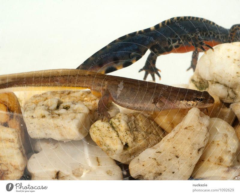 Bergmolch; Ichthyosaura; Maennchen, Weibchen Natur Tier Wasser Frühling Teich frei braun schwarz weiß maennlich Fortpflanzung alpestris weiblich Wassertracht