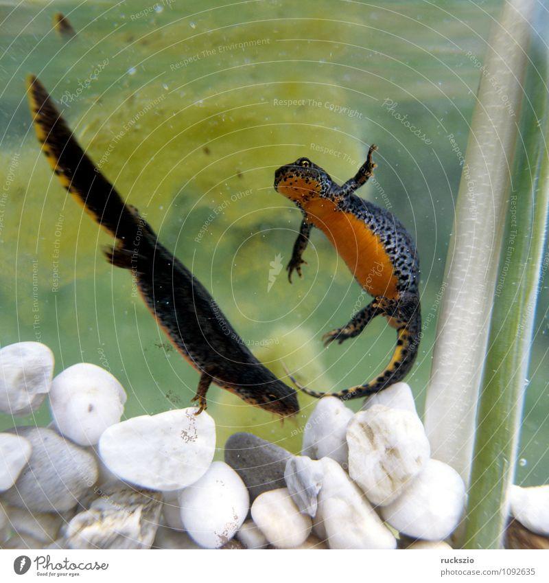 Bergmolch; Ichthyosaura; Maennchen, Weibchen Natur Tier Wasser Frühling Teich authentisch Zusammensein mehrfarbig schwarz maennlich Fortpflanzung alpestris