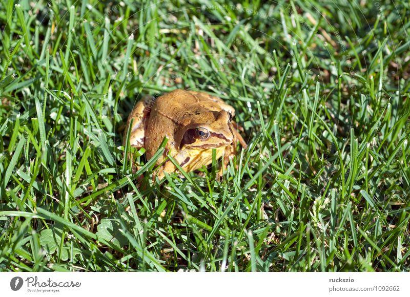 Grasfrosch, Rana temporaria, Natur Tier Wildtier Frosch authentisch Amphibie Froschlurche Springfrosch Taufrosch Maerzfrosch Amphibien Lurch amphibians animals