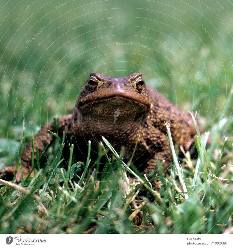 Kroete, Bufo bufo, Erdkroete, Natur Tier Wildtier Frosch braun Kröte Erdkröte Amphibie Lurch amphibians frogs Froschlurche Jean-Baptiste Grenouille Vertebrata