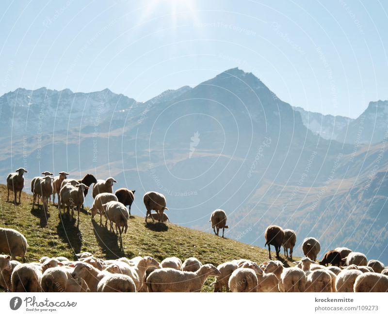 Schäfchen zählen Bergkette Schaf Schafherde Gegenlicht Wolle Gras Schweiz Alp Flix Kanton Graubünden Tier Landleben Bauernhof Fell Lamm Wiese Berge u. Gebirge