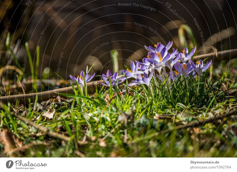 Frühling - Krokusse Natur blau Pflanze grün Erholung Blume ruhig Wald Umwelt Leben Wiese Blüte Stil Garten Lifestyle