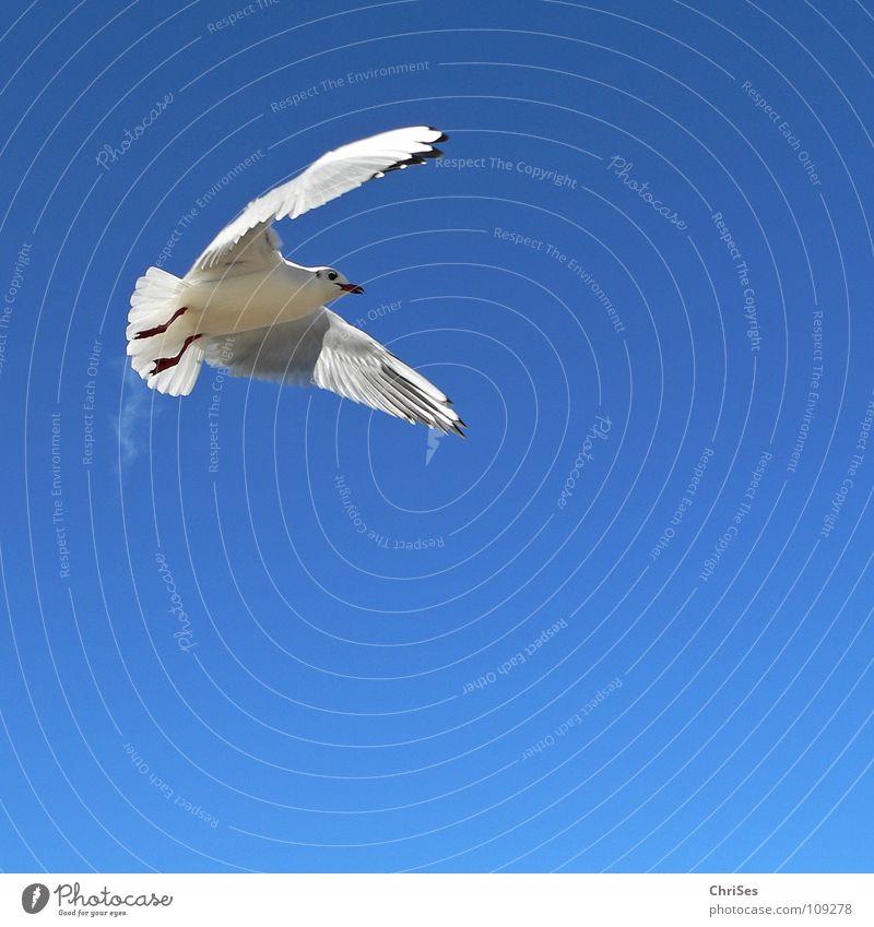 Grosse Freiheit: Silberkopfmöwe ( Larus novaehollandia ) Himmel blau weiß Meer Tier Wolken schwarz grau See Vogel fliegen frei Möwe himmelblau Kondensstreifen