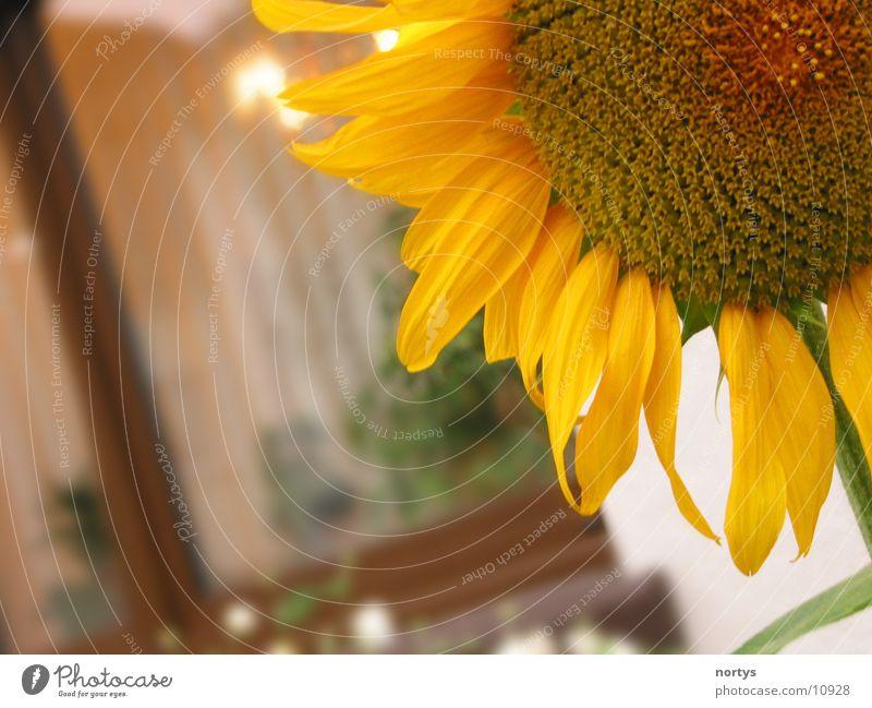 1/4 Sonne Sonnenblume Blume gelb Nahaufnahme Garten Close Up