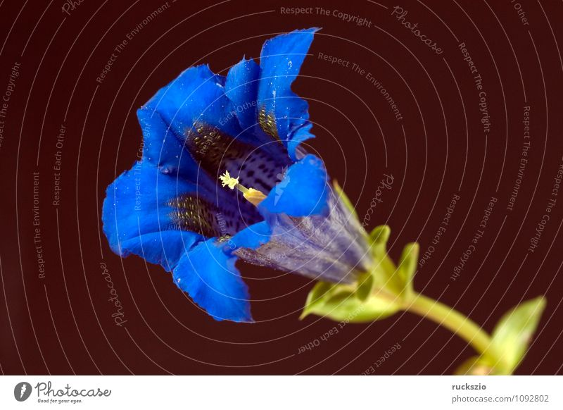 Enzian; Gentiana; acaulis; blau Pflanze schwarz Blüte frei Blühend planen Stillleben Objektfotografie Wildpflanze Wiesenblume neutral freilassen Enziangewächse
