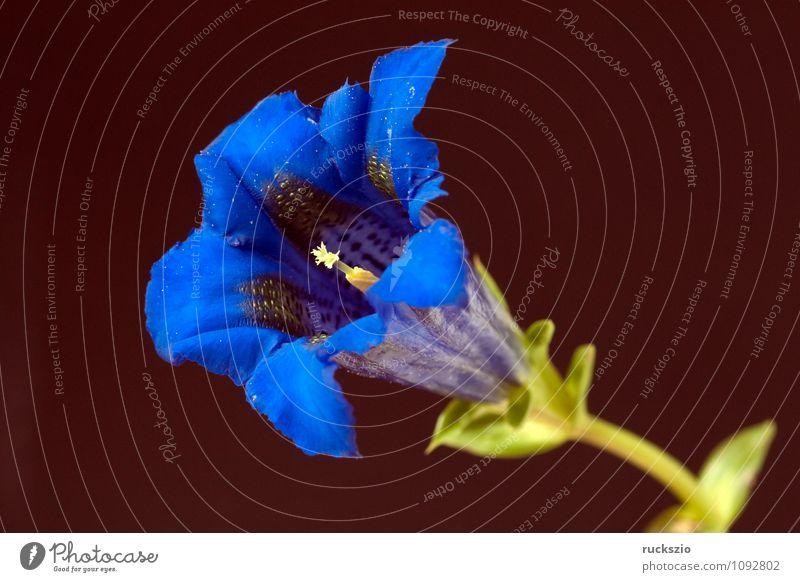 Enzian; Gentiana; acaulis; Pflanze Blüte Wildpflanze Blühend frei blau schwarz Enziangewächse Stengelloser Staude Alpen-Enzian Kochsche Enziane Gebueschelte