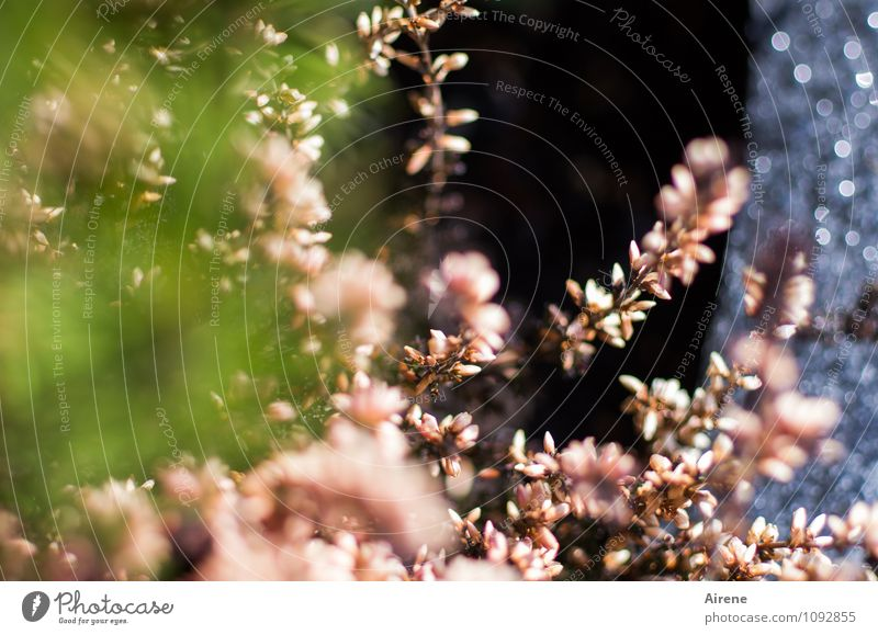 neu bepflanzt Frühling Pflanze Blüte Heidekrautgewächse Bergheide Topfpflanze Pflanzkübel Blumentopf Beeteinfassung Granit gartenerde Blühend glänzend Wachstum