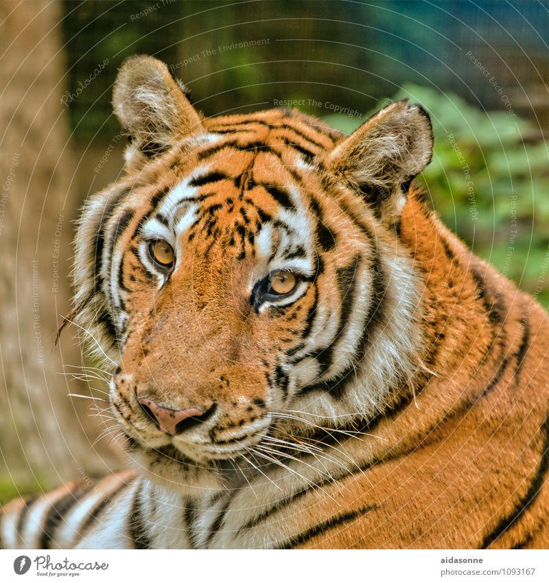 Tiger Tier Wildtier Katze Tiergesicht Fell 1 Coolness Raubkatze ruhig Farbfoto Außenaufnahme Menschenleer Tag Porträt Blick in die Kamera Blick nach vorn