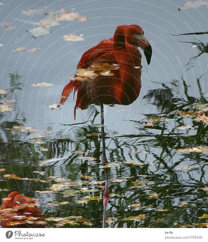Flamingo Spiegel Tier Vogel Zoo Herbst Teich Wasser