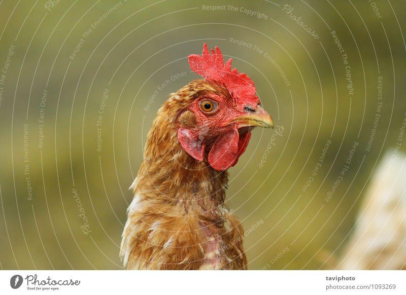 Porträt einer braunen Henne Fleisch Gesicht Frau Erwachsene Natur Tier Vogel stehen natürlich grün rot Pute Hähnchen Federvieh Bauernhof Kopf Ackerbau