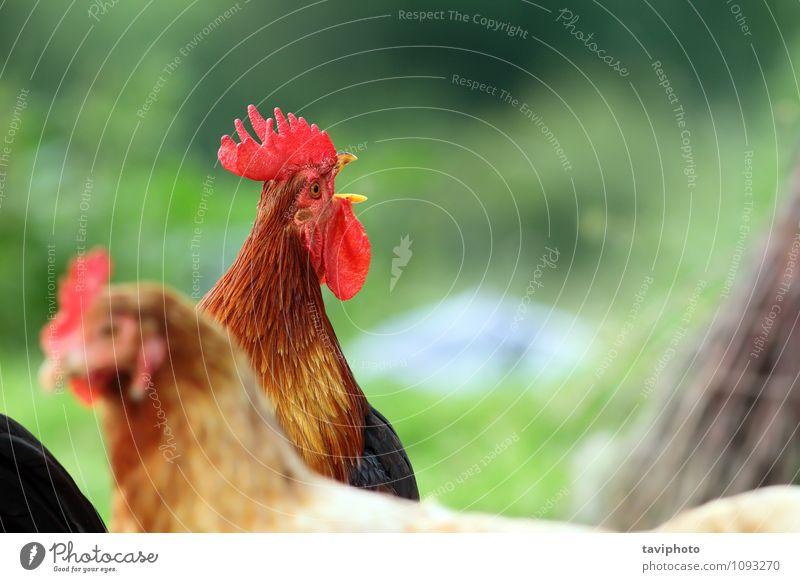 singender Hahn über grünem Hintergrund schön Uhr Mann Erwachsene Natur Tier Vogel stehen natürlich braun rot Stolz Hähnchen Bauernhof Federvieh Ackerbau Kamm