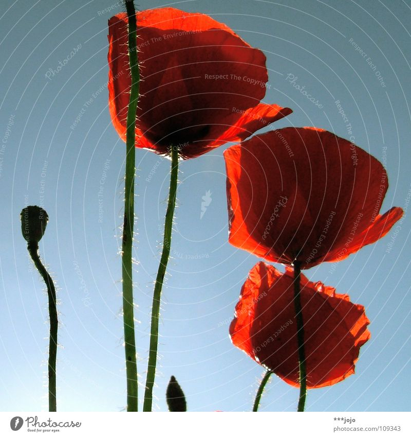 nachsaison. Mohn Sommer Blume Blüte rot Mai Wegrand Feld Straßenrand Frühling Klatschmohn Wiese Gegenlicht Physik Wachstum schön Pflanze blau Blühend Sonne