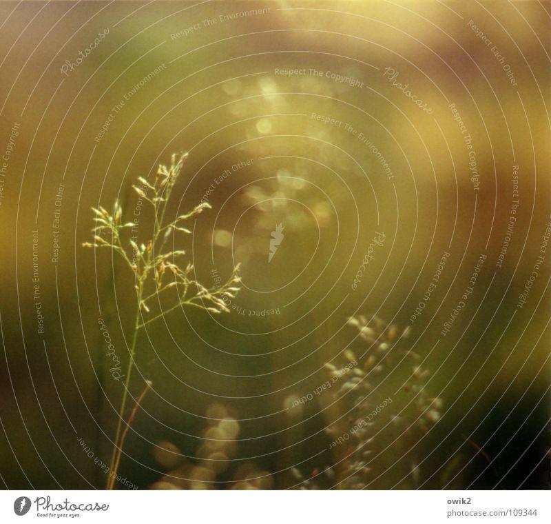 Leuchtend Natur Pflanze Sommer Wiese Gras zart Halm zerbrechlich