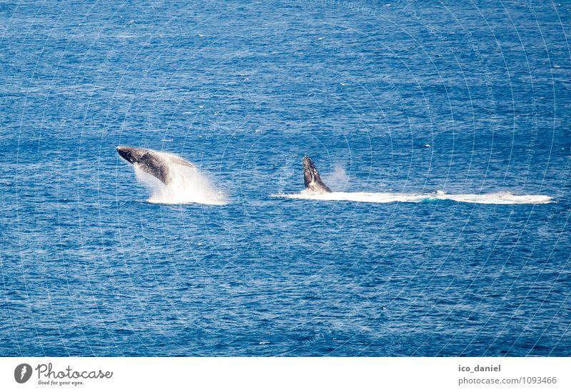 Springender Buckelwal Natur Ferien & Urlaub & Reisen schön Wasser Meer Freude Tier Ferne Küste Freiheit springen Freizeit & Hobby Wildtier Tourismus Wellen