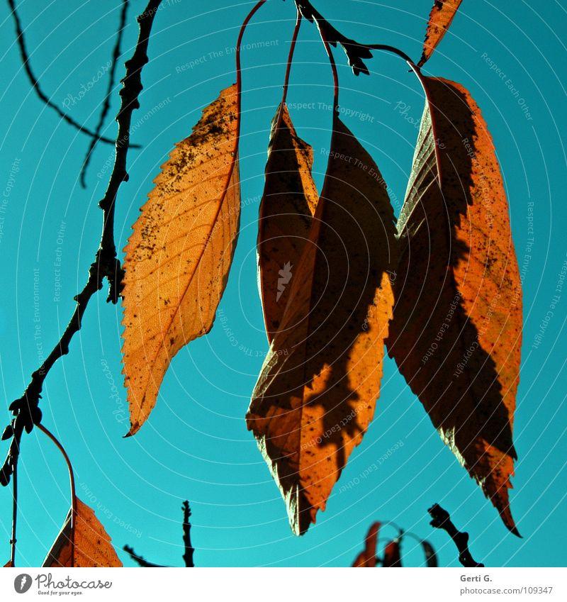 unda da cherry-tree Herbst Blatt Herbstlaub braun himmelblau Laubbaum Physik Baum Vergänglichkeit Farbe Kirschbaum kirschbaumblätter herbstlich orange petrol