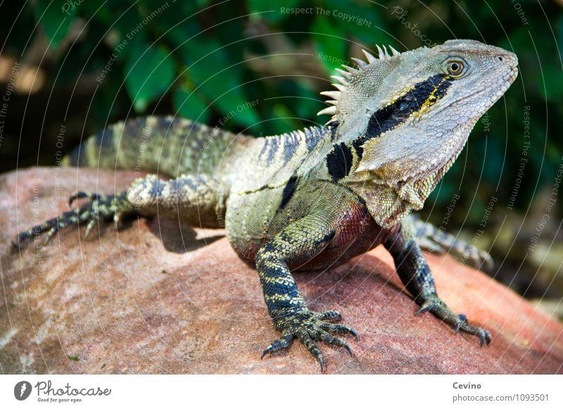 Leguan Tier Wildtier Zoo Leguane 1 genießen elegant Neugier niedlich Geschwindigkeit Farbfoto Außenaufnahme Tag Kontrast Tierporträt Halbprofil