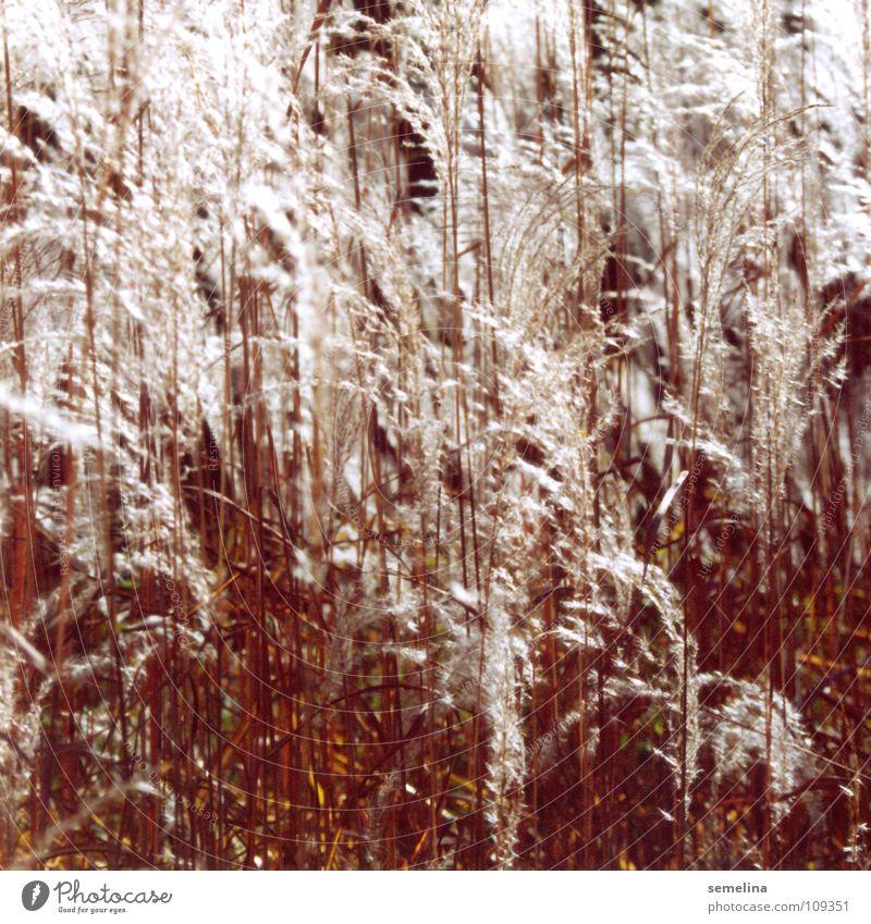 Flauschgräser Natur weiß rot Wärme Herbst Beleuchtung Gras Hintergrundbild Garten hell Park weich Physik sanft durcheinander eng